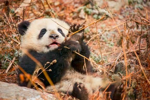 Born in China -Panda